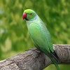 Indian parrot on a tree branch