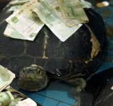 Thai Giant Turtle with money stuck to its shell