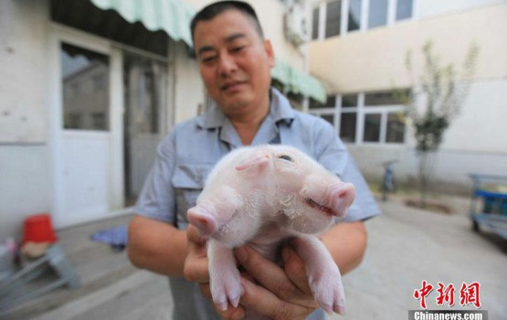 Two-Headed Pig Nursed Back To Health