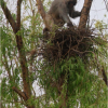 Monkey with bird's nest