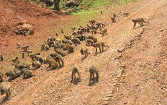 Monkey Business Goes Awry In Effort To Boost Tourism